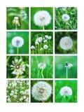 Kolaż Biali Dandelions Zdjęcie Stock