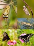 Kolaż Czarna Swallowtail metamorfizacja Obraz Stock