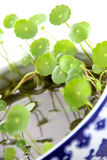 Kola de Gotu Imagens de Stock