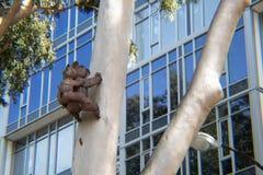 Kolala-Bären beobachten Bau lizenzfreie stockfotos