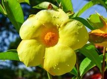 Kolambi-poovu или flower& x28; dogbane & x29; Стоковые Изображения