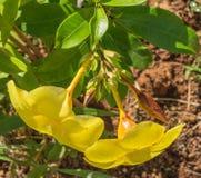 2 Kolambi-poovu или flower& x28; dogbane & x29; Стоковые Изображения RF
