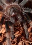 kolanowa meksykańska czerwona tarantula zdjęcia royalty free