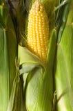 kolby kukurydzy słodkiej Zdjęcia Royalty Free