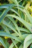 Kolca kaktusa abstrakt Obrazy Stock