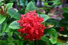 Kolca kwiat Obraz Stock