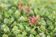 Kolca kwiatu płatki są wiązką liście dekorujący z domami i ogródami w Tajlandia czerwieni i zieleni obraz royalty free