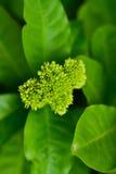 Kolca kwiatu tła zieleni zakończenie up Zdjęcie Stock