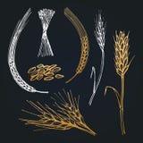 Kolce i ucho banatka, jęczmień, żyto, ręka rysująca kolekcja Wektorowe ilustracje dla browar ikony, rolny logotyp royalty ilustracja