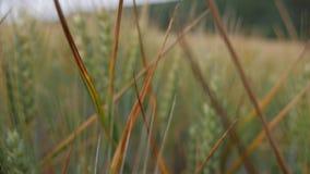 Kolce w pszenicznym polu zdjęcie wideo
