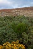 Kolcolist na murawy bagna krajobrazie, okręg administracyjny Wicklow zdjęcie stock