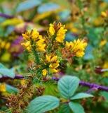 Kolcolist roślina w jesień lesie Obrazy Stock