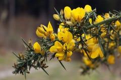 Kolcolist?w kwiaty zdjęcia royalty free