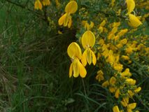 Kolcolista krzak w lesie z żółtym okwitnięciem zdjęcie stock