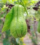 Kolczocha chouchou na roślinie w gospodarstwie rolnym Obraz Stock
