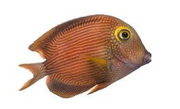 Kole特性的侧视图, Ctenochaetus strigosus,被隔绝 图库摄影
