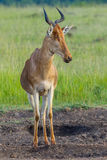 Kole Hartebeest, Masai Mara, Kenja Fotografia Stock