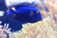 Kole tang. Also known as spotted surgeonfish stock images