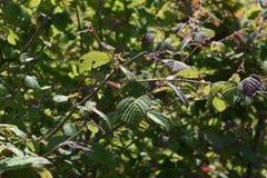 Kolec zimy leszczyny liście i owoc zdjęcie stock