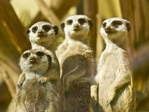 2 kolejne dziecko jest członkiem rodziny klanu meerkat oglądającym Obrazy Stock