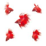 Kolekci grupa pomarańczowej czerwieni boju siamese ryba Zdjęcie Stock