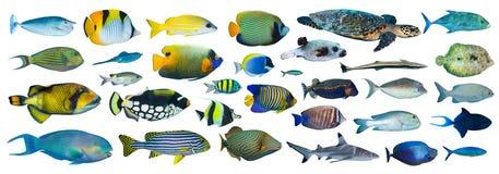 kolekci tropikalny rybi royalty ilustracja