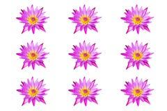 kolekci wodnej lelui różowy lotosowy kwitnienie odizolowywający na białym tle Fotografia Stock