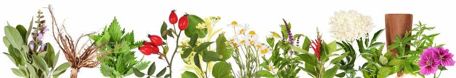 Kolekcja świeże herbaciane rośliny zdjęcie royalty free
