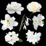 Kolekcja biali kwiaty Fotografia Royalty Free
