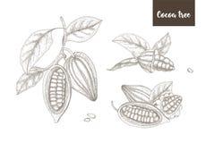 Kolekcja botaniczni rysunki dojrzali strąki lub owoc kakaowy drzewo cali i rozszczepeni, rozgałęzia się i liście wręczają patrosz royalty ilustracja
