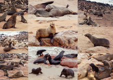 Kolekcja Brown futerkowa foka - denni lwy Afryka Obrazy Royalty Free