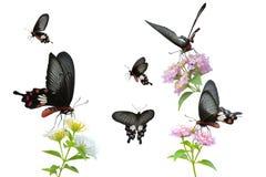 Kolekcja Czerwony Motyli błonie Wzrastał Fotografia Royalty Free