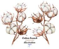 Kolekcja ilustracje akwareli bawełny kwiaty rozgałęzia się Fotografia Royalty Free
