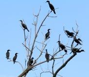 Kolekcja kopia breasted kormorany umieszczających w drzewie zdjęcie stock