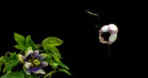 Kolekcja kwitn?cy passiflora i orchidee, kola? dwa timelaps zbiory