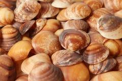 Kolekcja mali seashells Obraz Stock