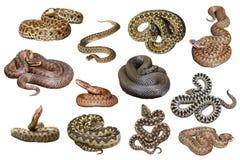 Kolekcja odosobneni europejscy venomous węże Obrazy Royalty Free