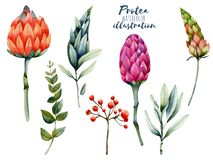 Kolekcja odosobniony akwareli protea, czerwone jagody i zieleń, rozgałęzia się royalty ilustracja