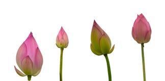 Kolekcja Odosobniony różowy lotos pączkuje na białym tle obrazy royalty free