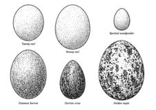 Kolekcja ptasia jajko ilustracja, rysunek, rytownictwo, atrament, kreskowa sztuka, wektor royalty ilustracja