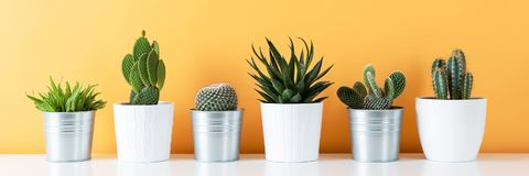 Kolekcja różnorodne doniczkowe kaktusa i sukulentu rośliny na białej półce przeciw ciepły kolor żółty barwiącej ścianie Dom zasad obraz stock