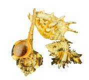 Kolekcja seashells na białym tle Obrazy Stock