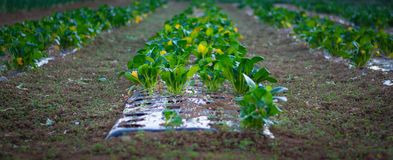 Kolen growing in rijen op een gebied Royalty-vrije Stock Foto