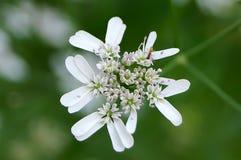 Kolenderu kwiat Fotografia Stock