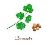 Kolendery lub cilantro ilustracja wektor