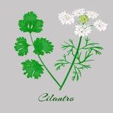 Kolendery lub cilantro wektor royalty ilustracja