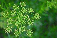 Kolendrowi ziarna, świeży zielony cilantro opuszczają na drewnianym tle zdjęcie stock