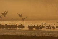 Kolgans, Greater White-fronted Goose, Anser albifrons. Manual updated royalty free stock image