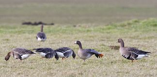 Kolgans, White-fronted Goose, Anser albifrons royalty free stock photography