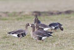 Kolgans, White-fronted Goose, Anser albifrons royalty free stock images